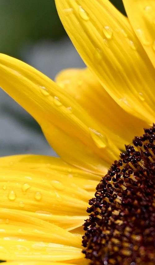 sunflower-5266745_1280